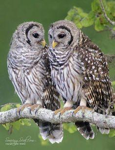 Barred Owls Waiting for Dinner by Brenda Moseley on 500px Burrowing Owl, Barred Owl, Owl Cat, Owl Bird, Nocturnal Birds, Animal Tracks, Beautiful Owl, Cute Owl, Cute Baby Animals