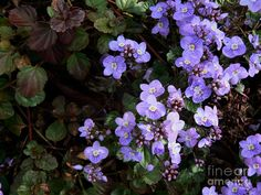 Waterperry Blue Veronica Ground Cover 1 by Diana Besser