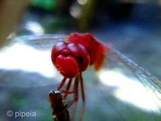Merah garang