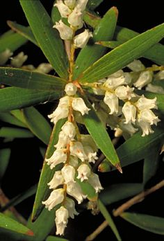 Leucopogon lanceolatus (Lance Beard-heath) is a common shrub found in eastern Australia. Found on a variety of soil types and habitats in eucalyptus woodland or forest. However it is rare in Tasmania