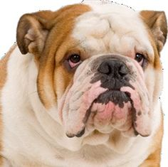 English Bulldog Shirt Order here: https://www.sunfrog.com/JohnyD/bulldog-socute