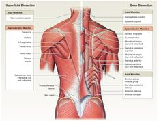 Muscles that Move the Scpula Human Body Muscles, Human Body Anatomy, Human Anatomy And Physiology, Muscle Anatomy, Muscular System Anatomy, Physical Therapy Student, Anatomy Bones, Medicine Student, Human Body Systems
