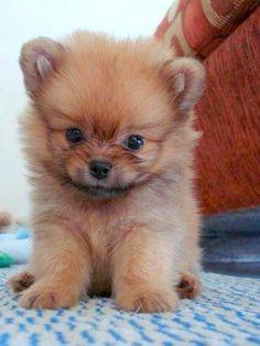 Pomeranian Puppy Pinned from anniemany.com