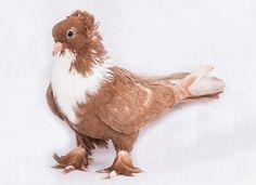 Narinci Güvercini