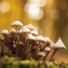 Autumn concert Better res. & more photos: https://goo.gl/3yeBgT #mushroom #mushrooms #fungi #funghi #forest #autumn #fall #stump #moss #bokeh #bokehlicious #revuenon55 #orange # brown #green #cloudy #concert  Canon 70D Auto Revuenon 55mm f1.4