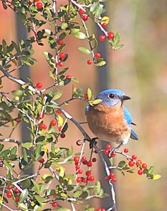 I could watch them all day! Bluebird in Yaupon Holly Tree