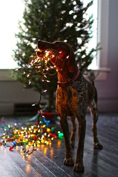 German Shorthaired Pointer helping decorate the christmas tree // Braque allemand Christmas Animals, Christmas Dog, Christmas Lights, Merry Christmas, Gato Animal, Short Haired Pointer, Decoration Christmas, Cat Dog, German Shorthaired Pointer