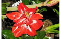Growing Things: Flower-free amaryllis worth coddling