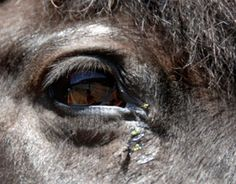 Eye Worms in Horses