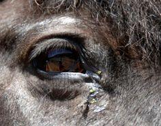 Eye Worms in Horses