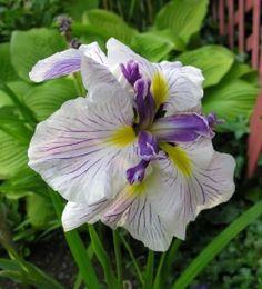 sorcerer's triumph japanese iris