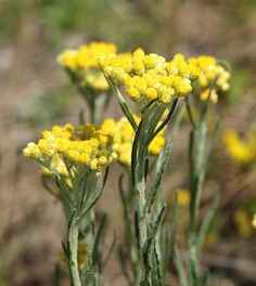 Helichrysum Essential Oil: Uses, Benefits
