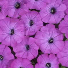 Petunia, Avalanche Grape
