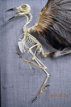 Real Bird Taxidermy Skeleton Open