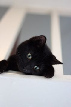 In some parts of the world, black cats are regarded as a symbol of good luck. Even it is seen that people of these places gift black cat to their close ones. Cute Kittens, Cats And Kittens, Cool Cats, I Love Cats, Pretty Cats, Beautiful Cats, Crazy Cat Lady, Crazy Cats, Gatos Cool