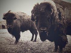 flora buffaloes