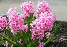 Como plantar jacintos. Os jacintos são belíssimas flores para embelezar jardins e mesmo varandas, podendo assim ser plantadas diretamente na terra ou em vasos, o que vai depender do espaço disponível na residência e mesmo d...