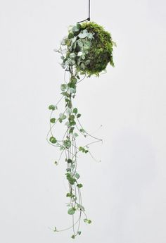 Kokedama (Moosball) Leuchterblume Say goodbye to the classic interior greening and get the latest trend in moss ball! The Ceropegia woodii is also known under [.