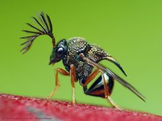 The Eucharitid Wasp - looks like an ant in armour..so cool!