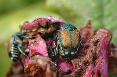 BAD BUG: Japanese Beetles. These beetles work as a group to skeletonize the leaves of nearly 300 species of plants and trees. SOLUTION:  knock them into a bucket of soapy water, spray a chemical insecticide, find store-bought traps (they look like bags), or pour a systemic insecticide near the roots (this option is safe for bees and lady beetles).