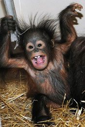 Kecil arrived at Brookfield Zoo to be introduced to his surrogate mother, Maggie. They can now be seen in the zoo's Tropic World: Asia every weekend from 10 a. to 12 noon. Brookfield Zoo, In The Zoo, Orangutan, Habitats, Cute Animals, Asia, Tropical, Fun, Monkeys