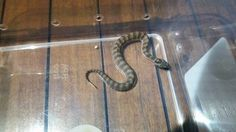 Baby Northern Death Adder found on back patio in Kanimbla. It's that time of year where we can be coming across snakes aswell as baby snakes. This one they thought could have been a baby Python. Please take caution when seeing snakes. Do not try self identify. Call us anytime we are always happy to help. David Cairns Snake Removals. Snake Removal, Baby Snakes, Removal Services, Cairns, Python, Death, David, Animal, Happy