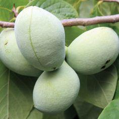 Asimina PawPaw Susquehanna W , H. Up to 1 lb fruit.