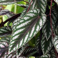 Rex begonia vine  Latin name: Cissus discolor  Zone 11