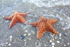 Startle member Julia Kasper of Fort Lauderdale took a day trip to Peanut Island in Palm Beach. While walking along the beach, she snapped this photo of two live starfish.
