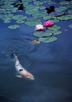 https://flic.kr/p/89sXw7 | Water Lily and Carp | Camera : PENTAX K10D  Lens: smc PENTAX-DA☆50-135㎜F2.8ED AL [IF]SDM