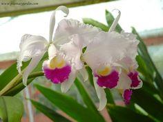 Orquídea Cattleya del grupo unifoliadas con 3 sepalos 2 petalos y un labelo central rizado