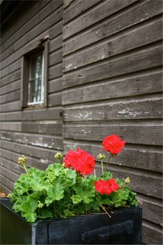black planter, red geranium