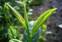 Green Tea in Longjing Village http://teacuplover.com/all-about-tea/best-green-tea-brands/