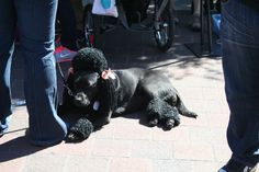 Black Lab dressed up as a black poodle at Poodle Day 2013 Carmel, CA