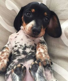 Dog shedding causes can include a lack of grooming, a bad diet, and skin parasites in dogs. Learn how to stop shedding in dogs. Piebald Dachshund, Dachshund Funny, Arte Dachshund, Dachshund Puppies, Dachshund Love, Daschund, Labrador Retriever, Golden Retriever, Funny Animals