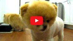 Does Boo Look Cute? - Dogisto - Dog News & Dog Videos