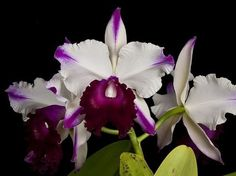 Orquídea BLC Ann Cleo Laina