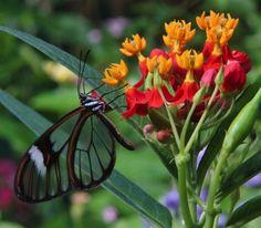 Vlinder met Vleugels van Glas