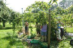 Fruit, Exotic Fruit, Harvest Season, Apple Tree, News, Psychics, Lawn And Garden
