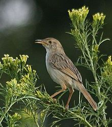 The Rattling Cisticola (Cisticola chiniana) is a species of bird in the Cisticolidae family. It is found in Angola, Botswana, Burundi, Republic of the Congo, Democratic Republic of the Congo, Ethiopia, Kenya, Malawi, Mozambique, Namibia, Somalia, South Africa, Sudan, Swaziland, Tanzania, Uganda, Zambia, and Zimbabwe. Its natural habitat is dry savanna.