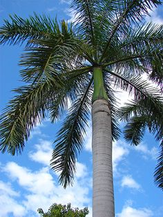 Yellow Trees In Florida Fruit Trees, Trees To Plant, Palm Tree Care, Palm Trees For Sale, Birds Of Paradise Flower, Royal Palm Beach, Yellow Tree, Growing Gardens, Palm Fronds
