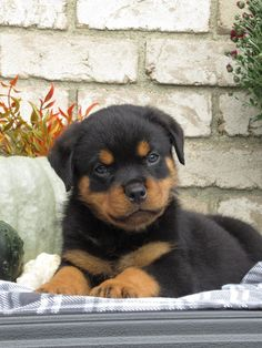 🧡🔅Excited to find yourself a new #fur-buddy🐶? These #Rottweiler puppies are just as excited to be that new fur-buddy. These #sweethearts will melt your heart with their cuteness and loving temperament. #Charming #PinterestPuppies #PuppiesOfPinterest #Puppy #Puppies #Pups #Pup #Funloving #Sweet #PuppyLove #Cute #Cuddly #Adorable #ForTheLoveOfADog #MansBestFriend #Animals #Dog #Pet #Pets #ChildrenFriendly #PuppyandChildren #ChildandPuppy #LancasterPuppies www.LancasterPuppies.com