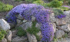 Die Blütenkaskaden von Blaukissen und Polster-Phlox sorgen im Frühling für Farbe. Meist brauchen die Mauerbesiedler einige Zeit, bis sie richtig Fuß gefasst haben, doch dann wachsen sie schnell und blühen überreich. Tipp: Zu den blauen Blüten passt gelbes Steinkraut (Alyssum) sehr gut