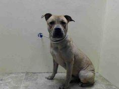 URGENT - Brooklyn Center    CUPCAKE - A0995694    FEMALE, TAN / WHITE, PIT BULL / CHINESE SHARPEI, 1 yr  STRAY - STRAY WAIT, NO HOLD Reason STRAY   Intake condition NONE Intake Date 04/04/2014, From NY 11423, DueOut Date 04/07/2014 https://www.facebook.com/Urgentdeathrowdogs/photos_stream