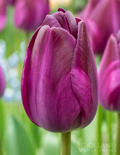 Deep purple blooms have a reddish hue in the Attila Graffity Triumph Tulip. Triumph Tulips are known for their strong and sturdy blooms that hold up in tough windy and rainy conditions. Black Tulips, Purple Tulips, Yellow Roses, Pink Roses, Tulips Garden, Garden Bulbs, Bulb Flowers, Tulips Flowers, Cactus Flower