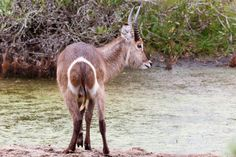 Mountain reedbuck at the Water Kragga Kamma Game Park in Port Elizabeth lush coastal forest and grassland is home to vast herds of African game. Port Elizabeth, Wild Animals, Lush, Giraffe, Goats, Coastal, Mountain, African, Park