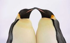 Penguins courting