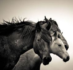 Equine, horses, heste, animal, beautiful, photograph, photo b/w.