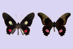 Trabalho feito na Unicamp, UnB e University of New Orleans identifica maior complexidade na forma de evitar predação e abre novas perspectivas para o estudo da evolução do mimetismo (Heraclides anchisiades e, à direita, Parides anchises / divulgação)