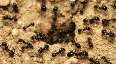 Mit diesen einfachen Tricks vertreiben Sie Ameisen schonend aus Ihrem Haus und Garten
